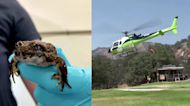 Zoo airlifts frogs for wild release in California