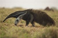 Giant Anteater Facts, Pictures & In-Depth Information For ...