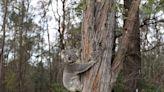 澳洲乾旱、野火、人為開發 無尾熊數量3年來減少3成