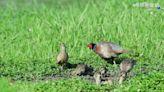 環頸雉全家同框覓食 鳥友直擊好興奮