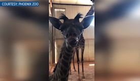 Cute! Baby giraffe born at the Phoenix Zoo