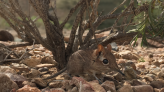 Tiny mammal with long nose was a 'lost species' — until NC researcher helped trap it