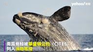 瀕危鯨魚「撩妹」?水中共舞槳板玩家 罕見畫面曝光