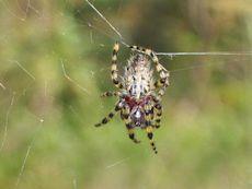 Alpaida (spider)