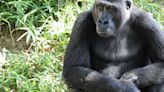 Gorillas at US zoo being treated for Covid
