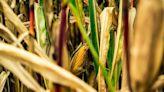 【錯誤】網傳圖片宣稱「如何識別基因改造玉米?12排的玉米是非基因改造,多於12排,14排16排都是基因改造」?