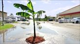 中英對照讀新聞》Florida man fed up with potholes plants banana tree in road受夠路面坑洞的佛羅里達州男子在路上種香蕉樹