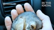 This baby possum in Australia was rescued from the cold
