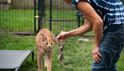 After woman's African caracal cat wandered neighborhood, she's ordered to find pets a new home
