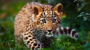 華南豹,美麗至極,瀕臨滅絕