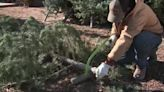 New Mexico tree farm using 'pay what you can' approach for its Christmas trees this year