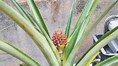 猛料阿Sir講古——香港菠蘿