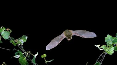 Bats are carrying other coronaviruses that could transmit to humans, says Wuhan's expert virologist