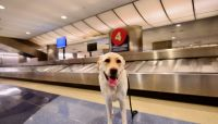 Dogs are being trained to sniff out COVID-19 at the airport