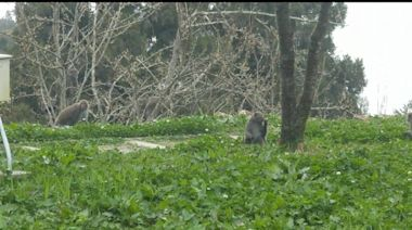 生態觀察家稱「獼猴吃櫻花要驅趕」惹議 林管處不認同回應了