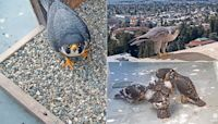 Annie and Grinnell, UC Berkeley's Peregrine Falcon Parents | The Kid Should See This