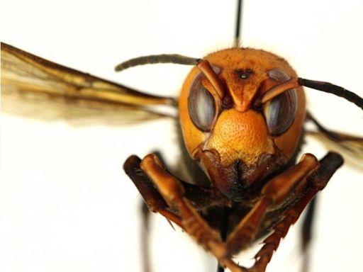 'Got 'em': Nest of 'murder hornets' taken down in Washington state to protect honeybees