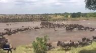 Thousands of Wildebeests Make River Crossing During Great Migration in Tanzania