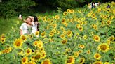 Top 5 places to see sunflowers in Maryland this summer