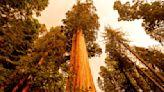 Crews watching weather as wildfire burns near sequoias