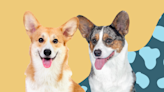 No, You're Not Seeing Double—Here's How to Tell the Difference Between the Two Types of Corgis