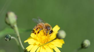 Scientists create bee vaccine to fight off 'insect apocalypse'