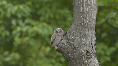 林口綠地封閉2個多月 領角鴞、黑冠麻鷺現蹤