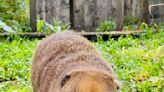 動物吃柚畫面吸睛 壽山動物園線上過中秋