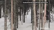 Canadian lynx wandering around in snowy forest