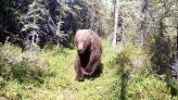 Grizzly bear trail-cam appearance both awesome and terrifying