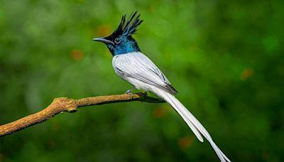體態優美的印度壽帶鳥 令人歎為觀止