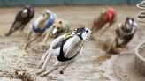 Group alleges greyhounds being trained with live rabbits