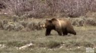 Why were two grizzly bear cubs euthanized?