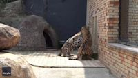 Hangriness in Action: Brazilian Wildlife Sanctuary Shows Jaguars Before and After Dinner