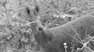Endangered species of deer spotted in the wild for the first time in more than 40 years