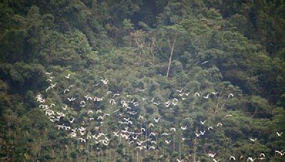 嘉義縣季節限定「萬鷺朝鳳」奇景曝 黃頭鷺群飛天際遊客驚嘆