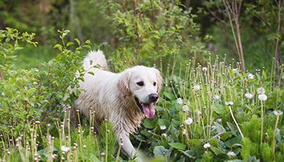 Everything You Need to Know About Your Dog and Lyme Disease