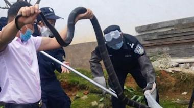 雲南德宏:農戶家中驚現眼鏡王蛇 民警緊急救助 | 博客文章