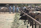 台灣本島首起牛結節疹 8隻病牛遭撲殺