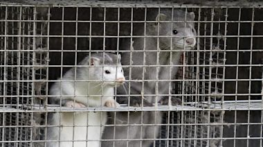 Thousands of Minks Die After Coronavirus Outbreaks at Fur Farms Across the U.S.