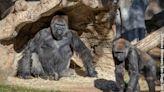 Zoo Atlanta Gorillas Test Positive for COVID