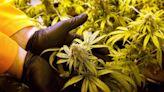 State Supreme Court upholds Florida's medical marijuana business rules