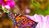 Monarch Butterflies Make Dinner Reservations at Gibbs Gardens' Wildflower Meadow