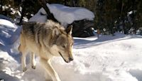 Wolves make a return to Yellowstone National Park