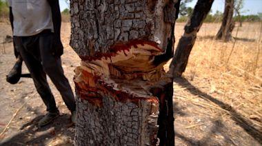 The tree that bleeds
