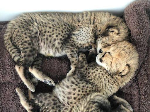 Missouri Zoo Welcomes 'Thriving' Trio of Cheetah Cubs — See Their Precious Newborn Pics!