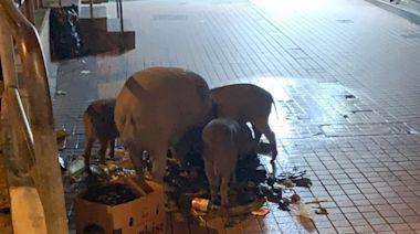 鰂魚涌野豬家庭再現身 悠閒逛街覓食