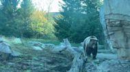 Bear at Minnesota Zoo Predicts Vikings Win Over Detroit Lions