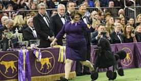 Standard Poodle Crowned Top Dog At 144th Annual Westminster Kennel Club Dog Show