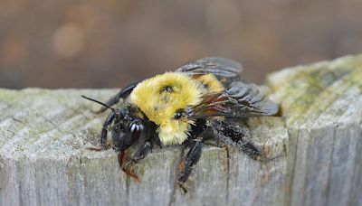 American Bumblebee Could Soon Be Considered an Endangered Species in the United States